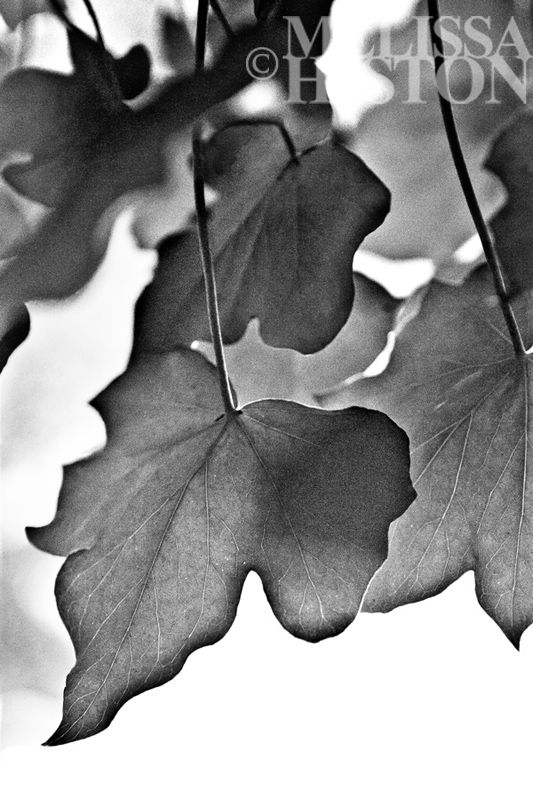 Lillianfels' Leaves