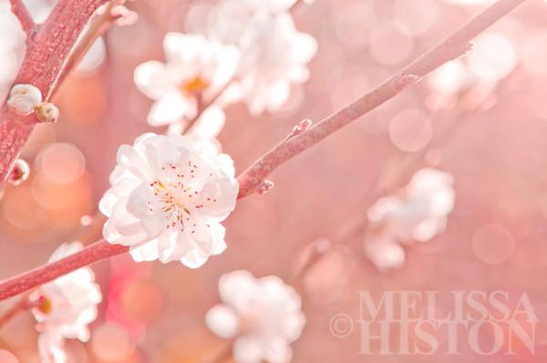 Oh my blossum II