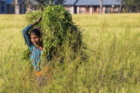 Chaudhary woman in the fields