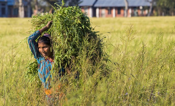 Chaudhray woman in fields